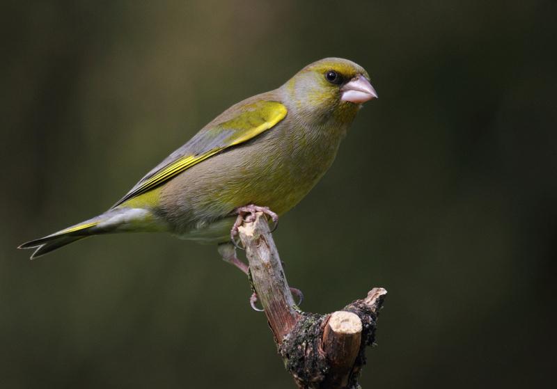 Male Greenfinch