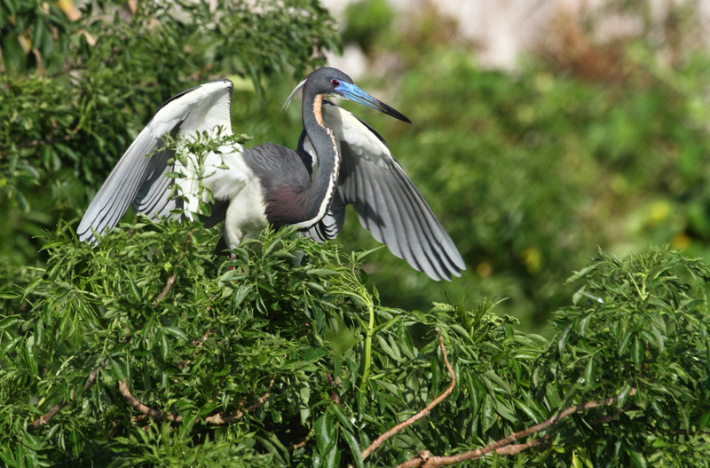 Tri-Colored Heron stretching wings