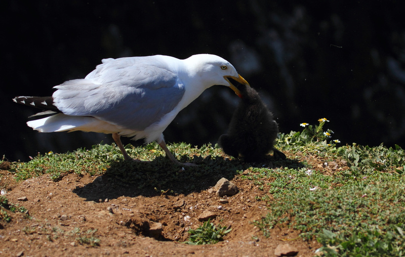 Herring Gull with Puffin Chick