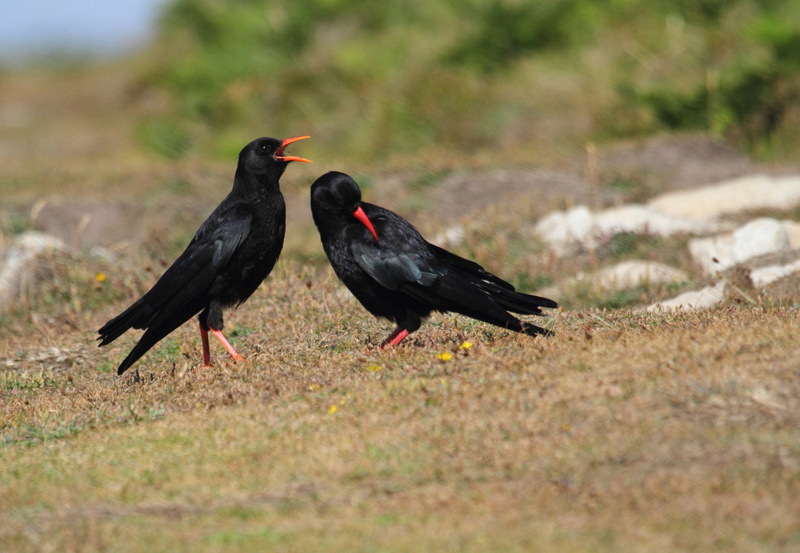 Chough with Juvenile
