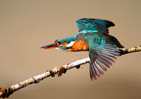 Kingfisher preparing for take off