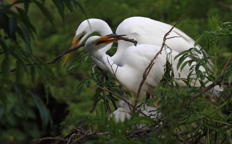 Great Egrets building nest