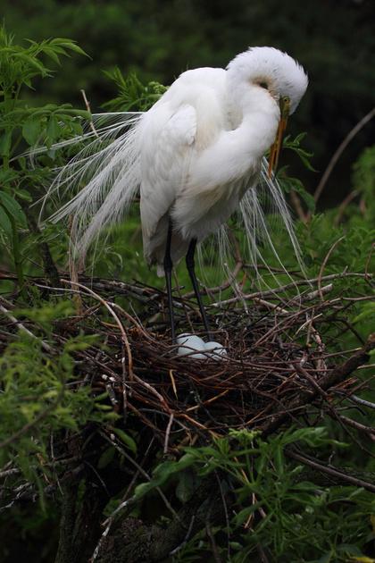 Great Egret on nest