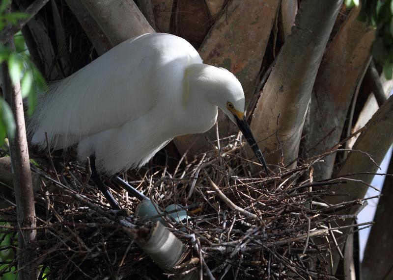 Snowy  Egret at nest