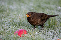 Female Blackbird Feeding #2