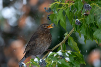 Female Blackbird with berry #1