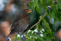 Female Blackbird with berry #1a