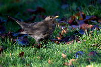 Female Blackbird #1
