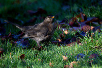 Female Blackbird #2