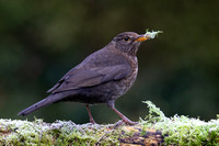 Female Blackbird #3a
