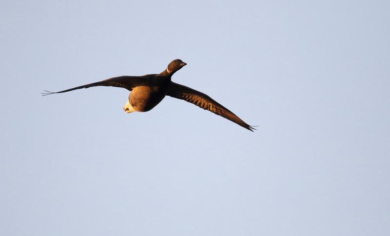 Brent Goose in flight