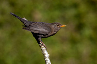 Female Blackbird #4