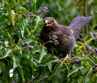 Female Blackbird with berry #2