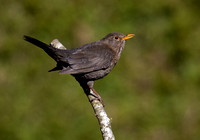 Female Blackbird #5