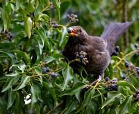 Female Blackbird with berry #4
