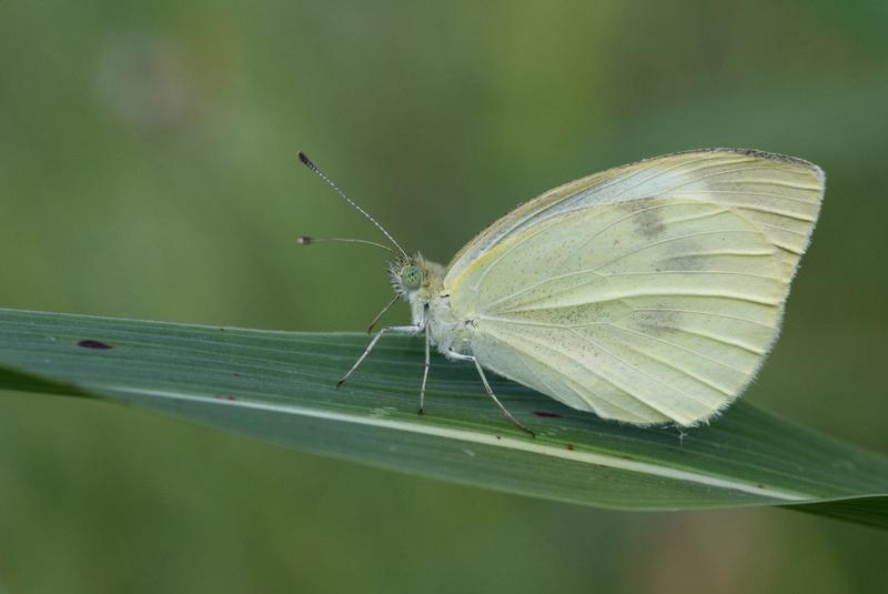 Large White (Pieris brassicae)
