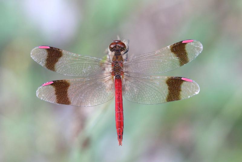 Banded Darter (Sympetrum pedemontanum)  - male