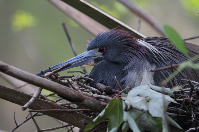 Tri-Colored Heron on nest