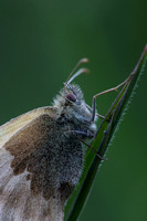 Small Heath close up #1