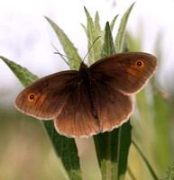 Meadow Brown #1a