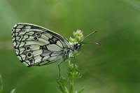 Marbled White #4