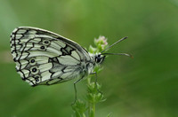 Marbled White #4a