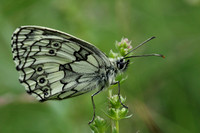 Marbled White #5