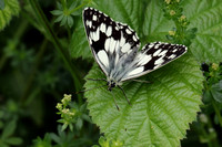 Marbled White #8