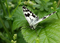 Marbled White #9