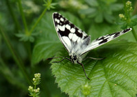 Marbled White #10a