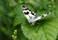 Marbled White #11