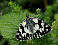 Marbled White #12a