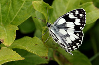 Marbled White #13