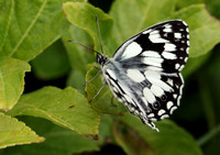 Marbled White #13a