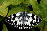Marbled White #15