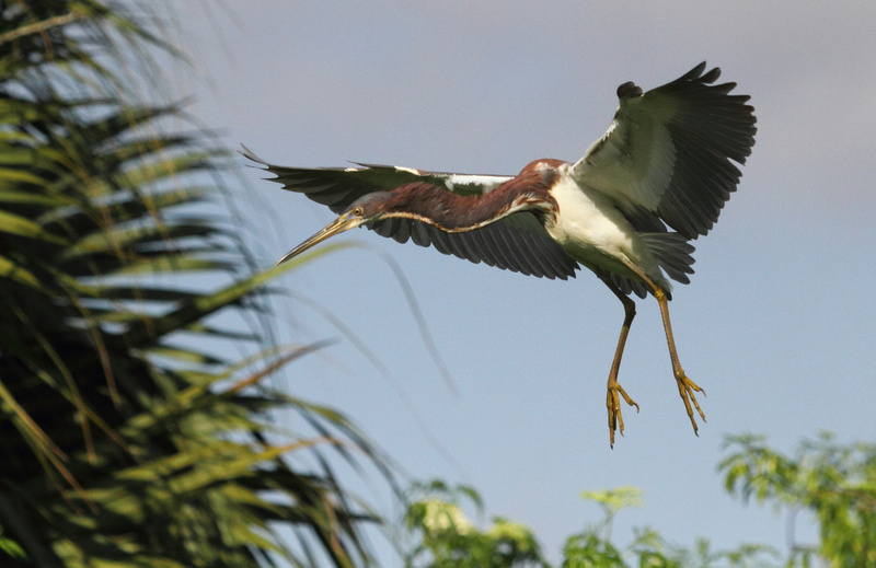 Tri-Colored Heron coming into land