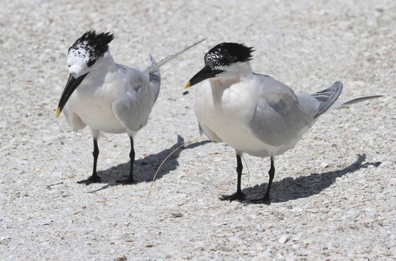 Sandwich Tern Pair