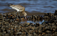 Godwit, Bar Tailed