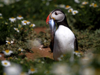 Puffin with Herring