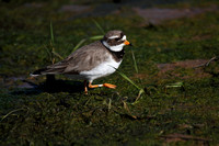 Ringed Plover