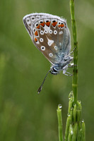 Common Blue Butterfly (male)
