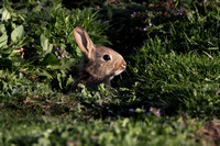 Young Rabbit at Burrow