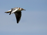 Black Headed Gull in Flight (Juvenile)