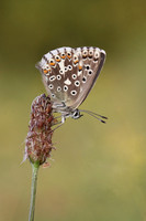 Chalk Hill Blue  (female)