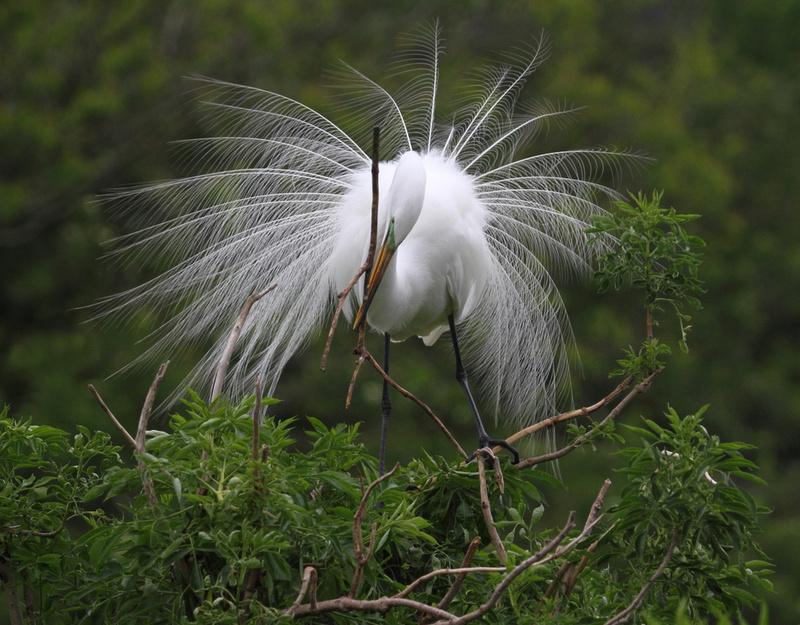 Great Egret tending nest