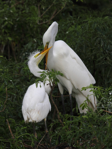 Great Egret with young