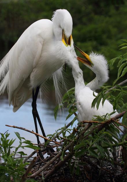 Great Egret feeding chicks