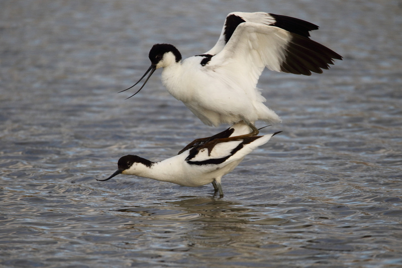 Avocets mating
