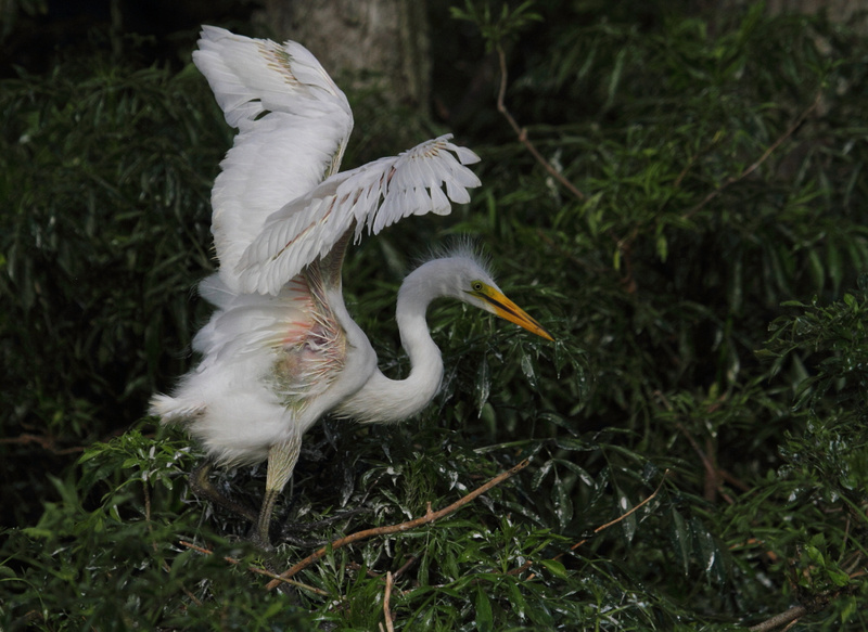 Great Egret - first time out the nest